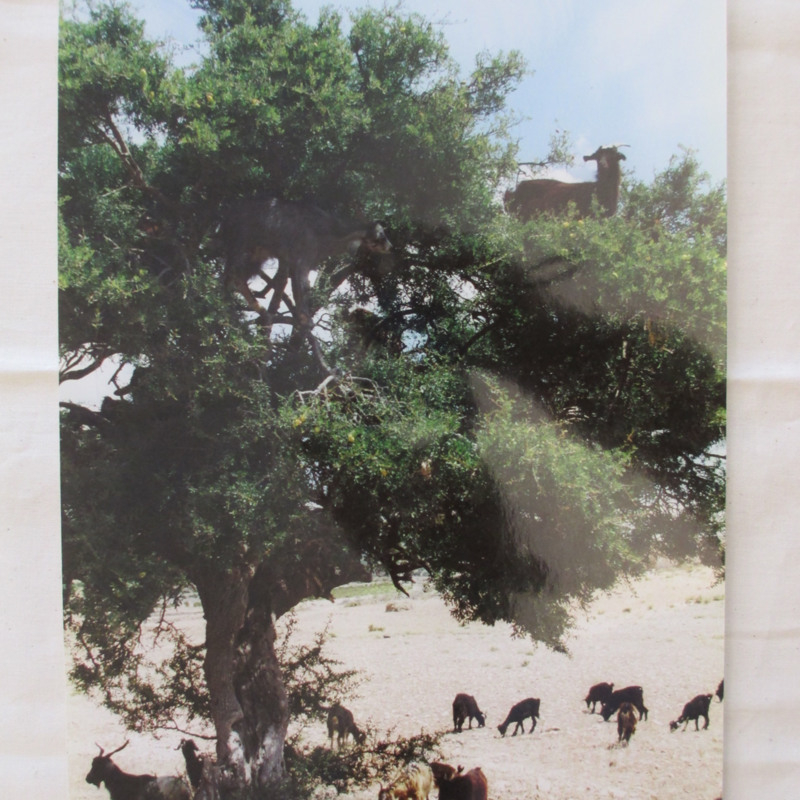 [Goats in Trees]